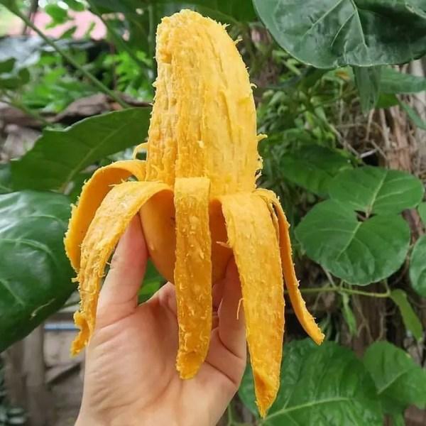 bibit mangga pisang