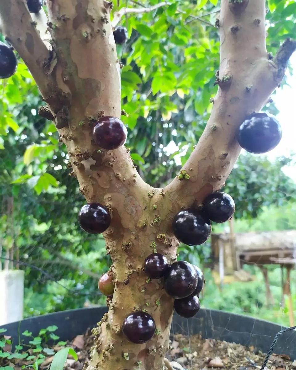 Anggur pohon preco