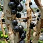 Anggur Preco