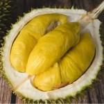 bibit durian musang king