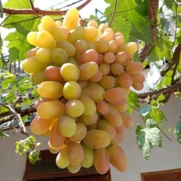 harga bibit anggur transfiguration