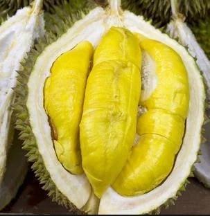 jual bibit durian kung mas
