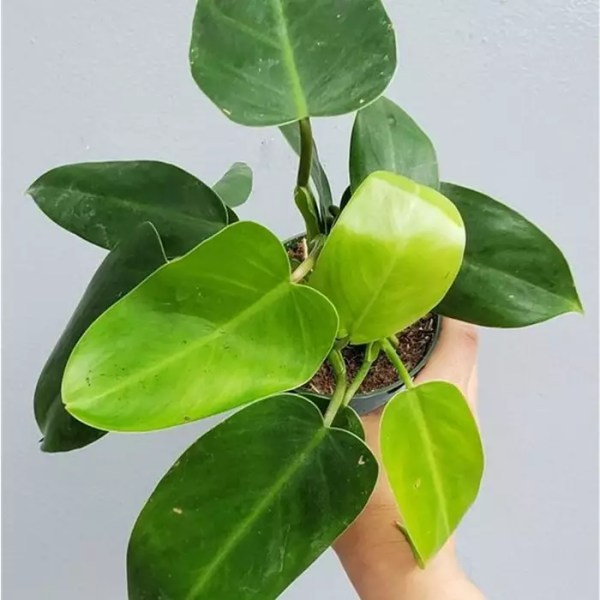 philodendron green emerald