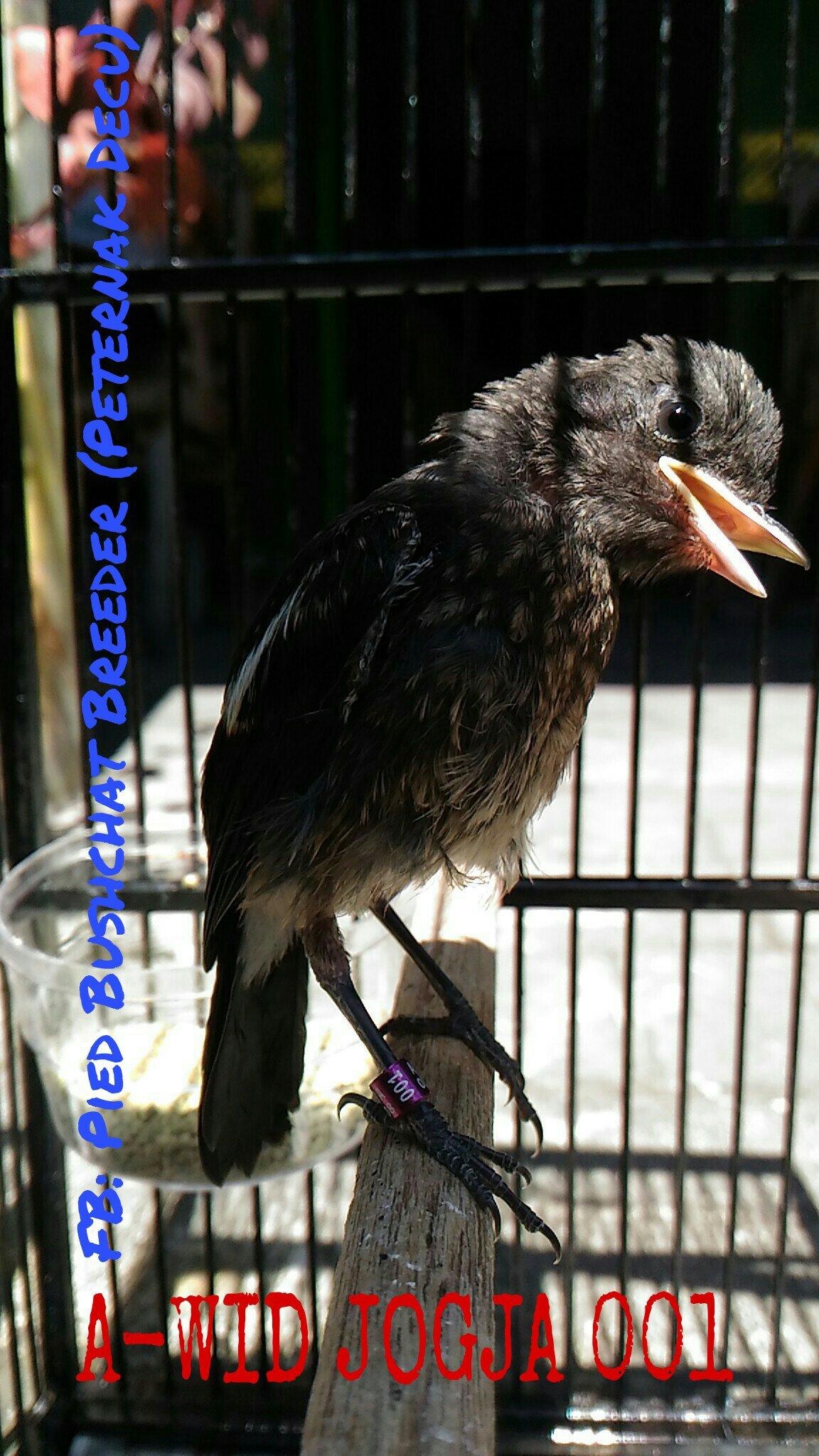 rumahunggas  AyamRingneck PheasantKalkunBurung Decu