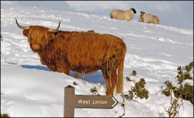 highland-cow-near-westwater