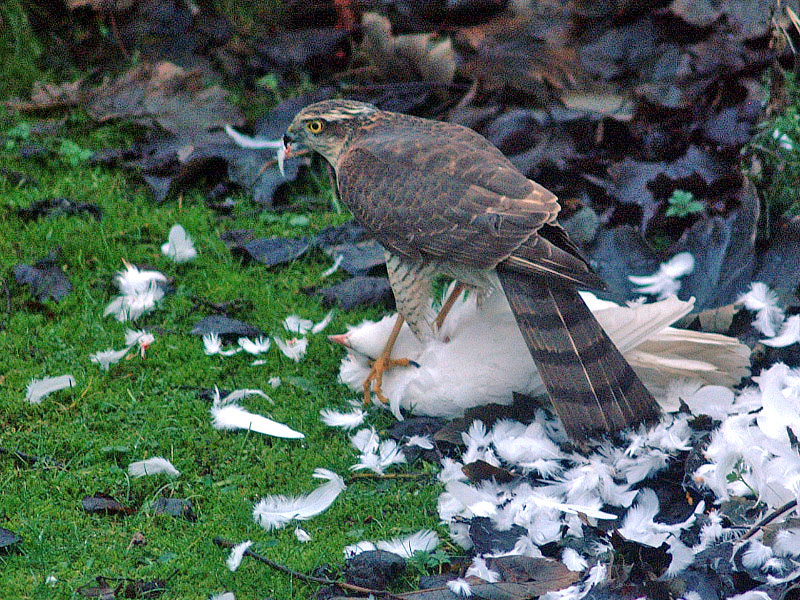 sparrowhawk-small-1