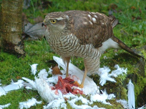 sparrowhawk-small-4
