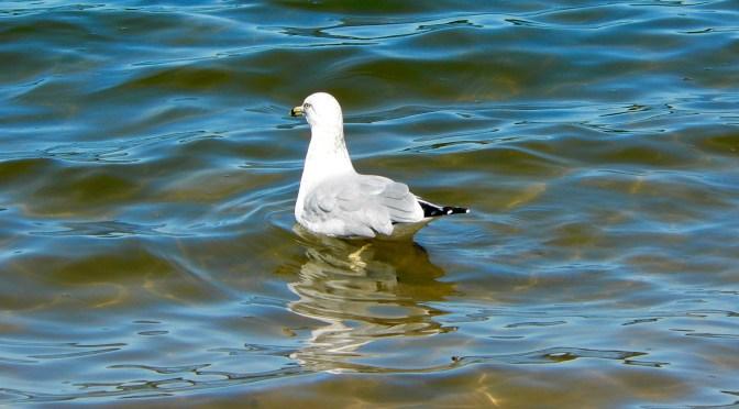 Focus: Sunny Daze; Gulls on the River