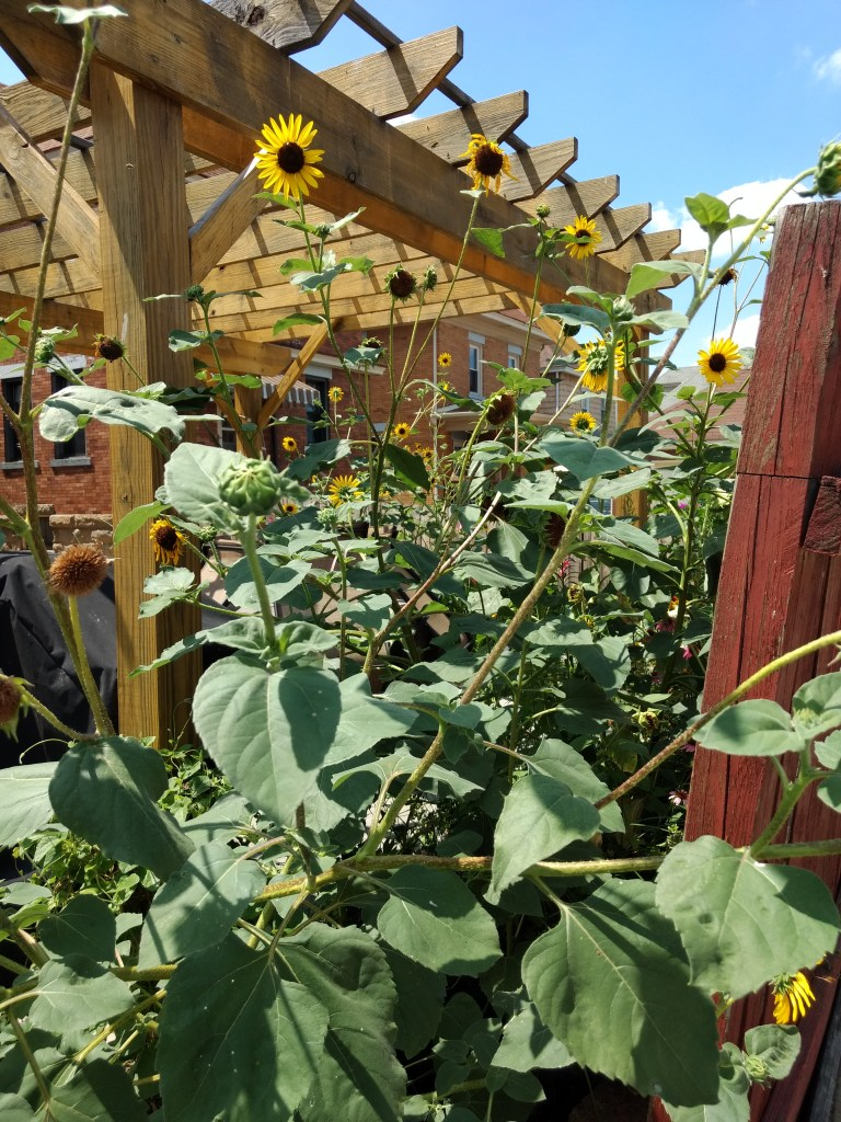 Sunflowers Along a Pergola