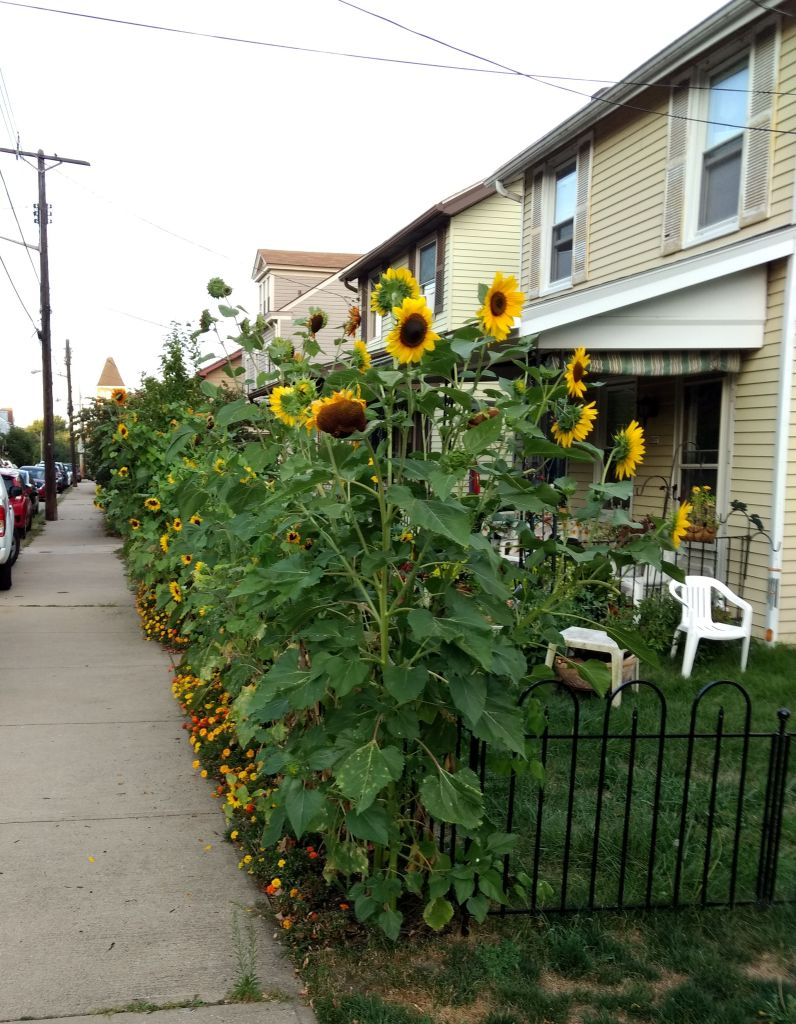 Sunflowers along yard