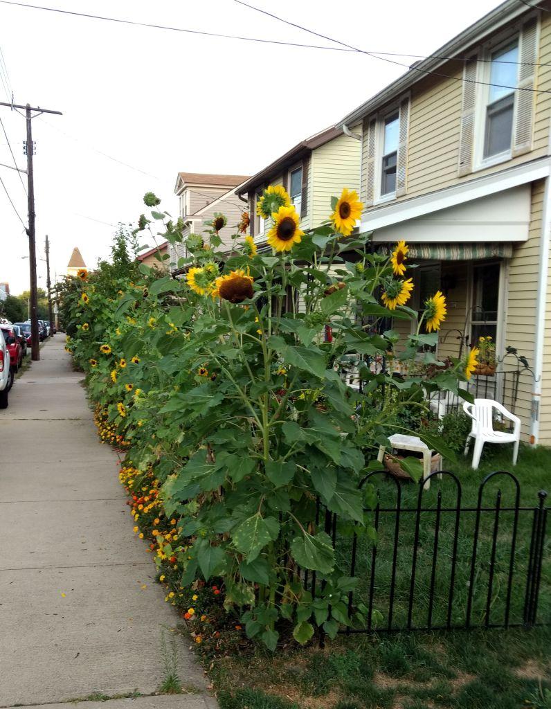 Sunflowers along yard