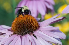 bumblebee on a coneflower