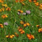 native maine wildflowers