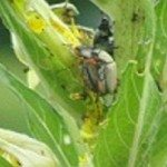 japanese beetles on evening primrose
