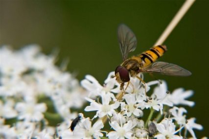 fly pollination of flowers