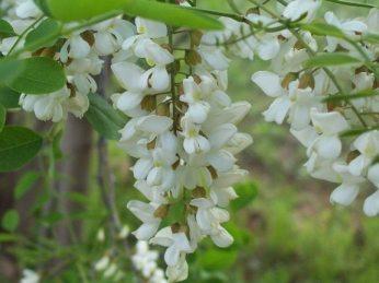 locust flower