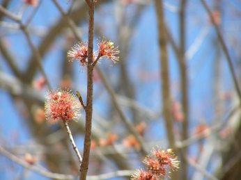 maple flower