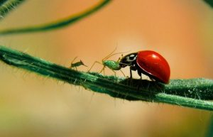 ladybugs as predators