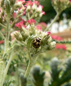 native ladybug