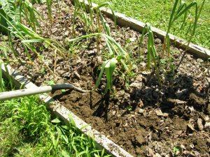 digging garlic