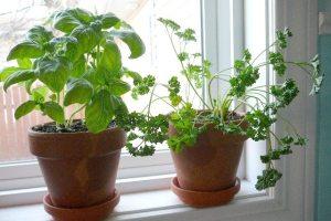 kitchen windowsill herb garden