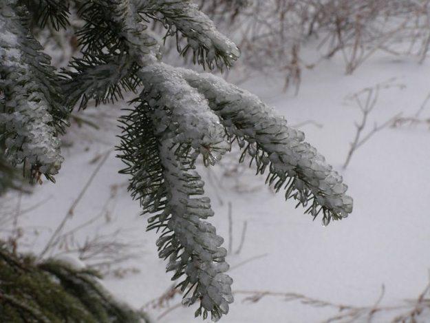 spruce in ice