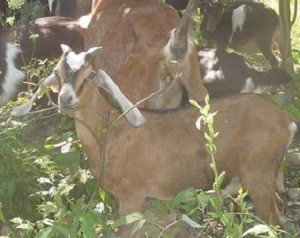 using livestock to reclaim overgrown pasture