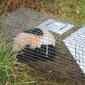 skunkie in the trap