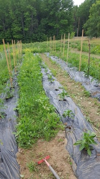 The stirrup-hoe knocks down over-grown weeds in a flash!