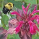 bumblebee-at-runamuk