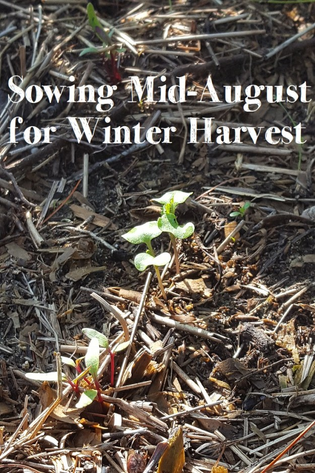 sowing mid-august for a winter harvest
