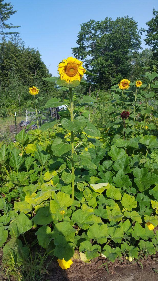 squash neighborhood and sunflowers