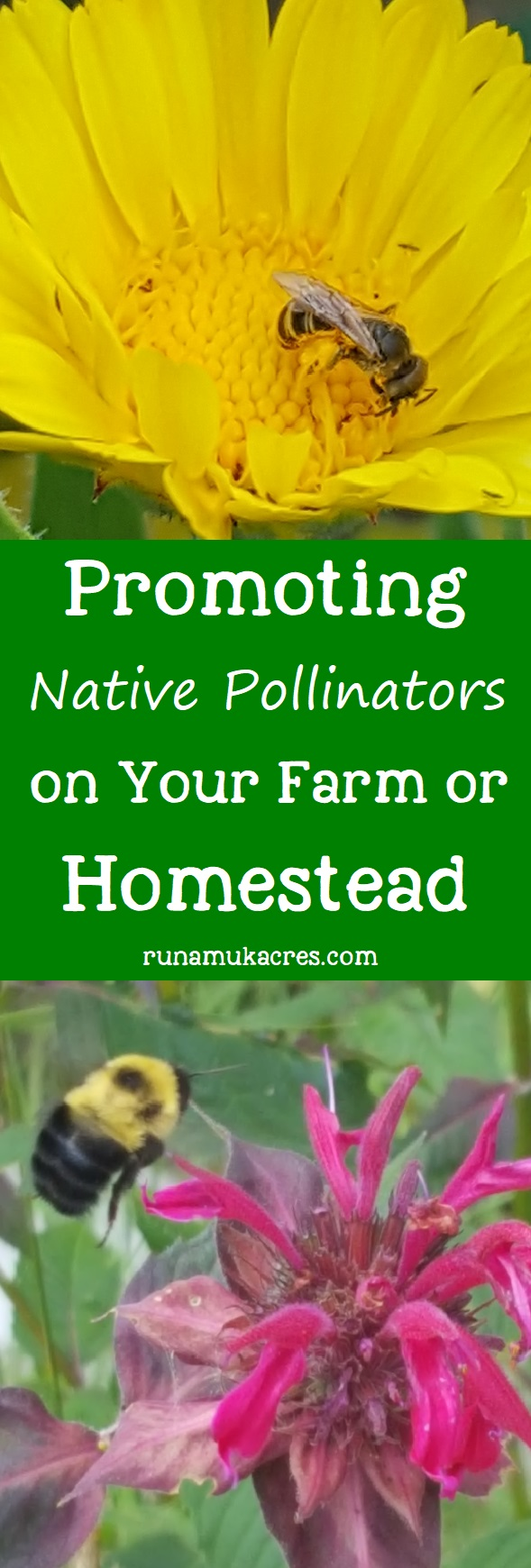By encouraging native bees you can promote the overall health of the ecosystem that you are responsible for as a farmer. Click to learn more from Runamuk Acres Farm & Apiary in Maine!
