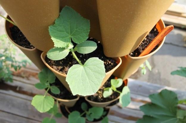 greenstalk_zucchini