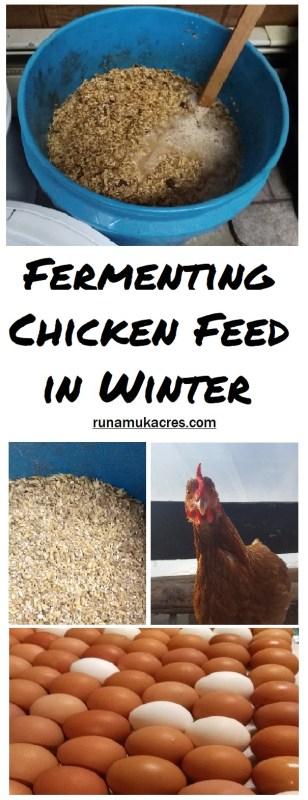 fermenting chicken feed