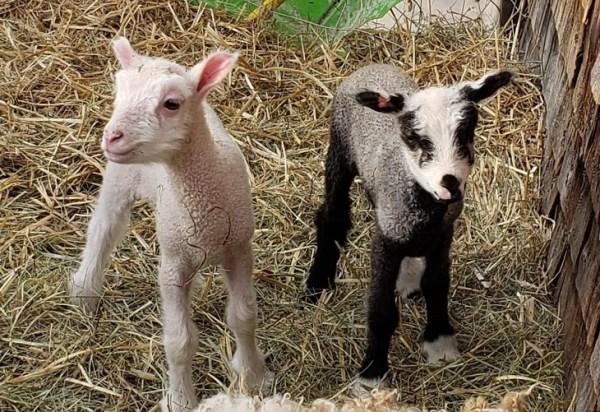 lambs at runamuk
