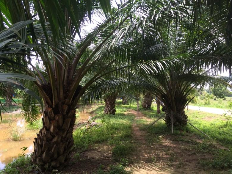 palm trees Thailand