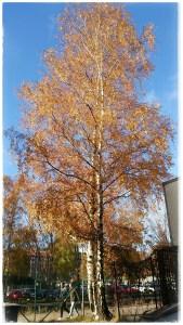 Slutet av oktober, vildvinets blad har nästan helt ramlat av och björkens gula löv börjar göra detsamma.