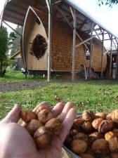 English walnuts from a tree near the shop