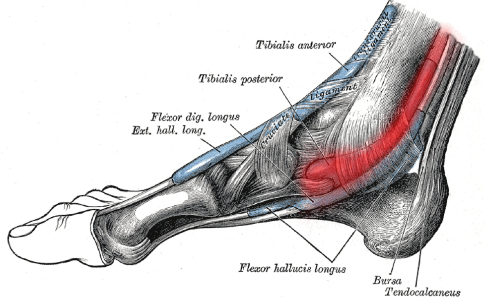 medial lower leg muscles diagram room setup 4 ways to prevent and treat posterior tibial tendonitis runners tib connect anatomy of the ankle