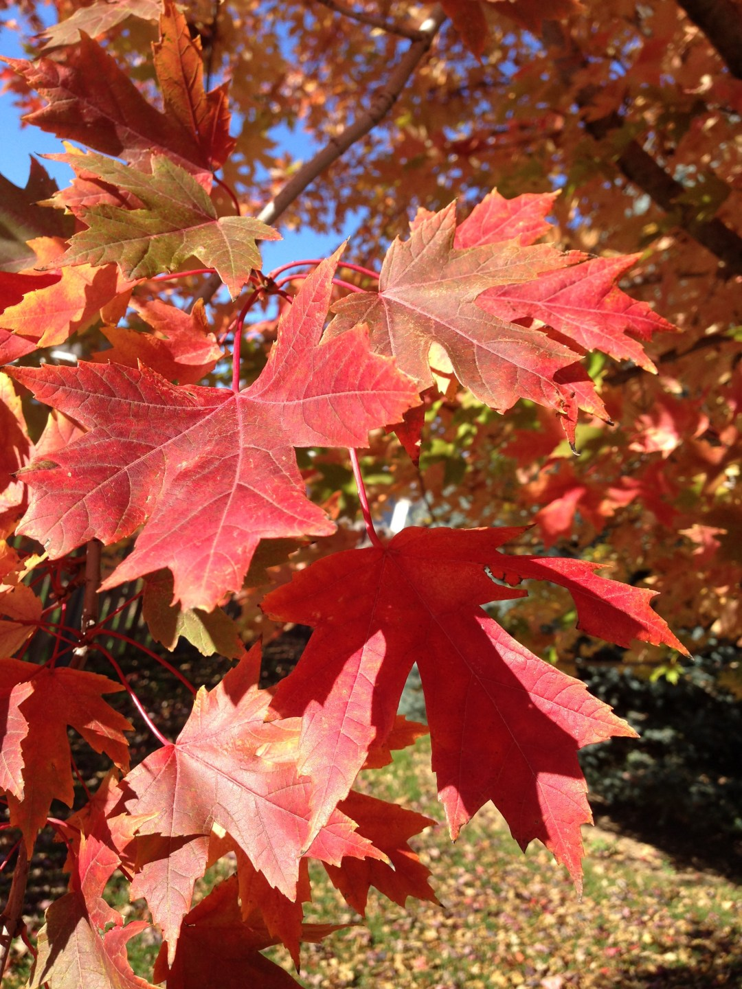 Perhaps I am like one of these leaves on our maple tree in our backyard. Time for me to fly!