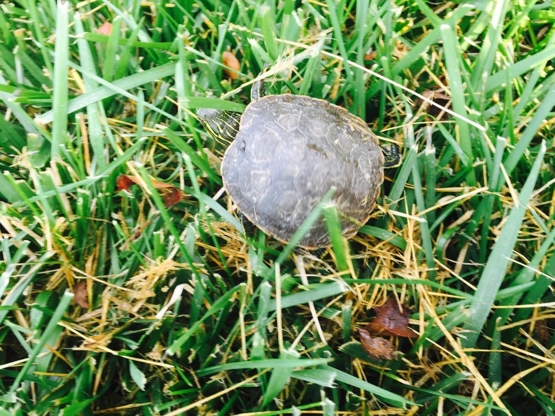 On closer glance, it's not a shell. It's really a turtle!