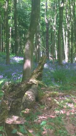 Bluebells in Ridge Woods (2)