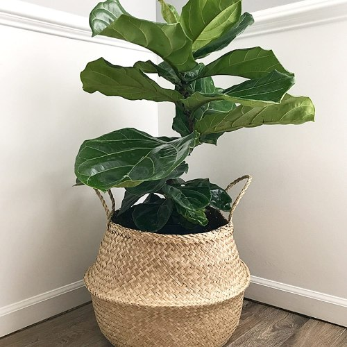 Seagrass Belly Basket with Fiddle Leaf Fig Tree
