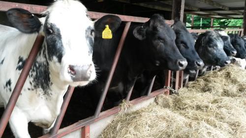 Row of cows in Devon