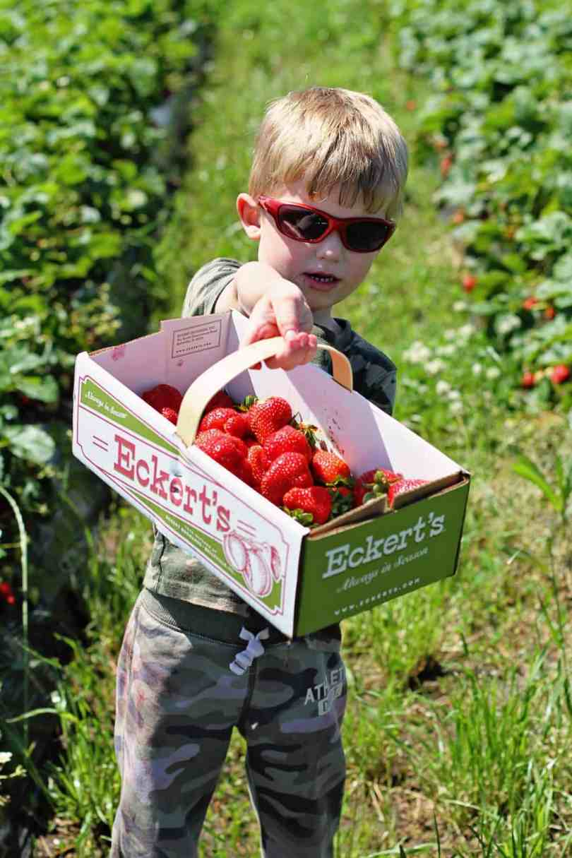 tips for strawberry picking