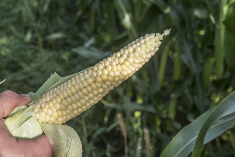 Tulevana talvena lehmät saavat syödä maissia.