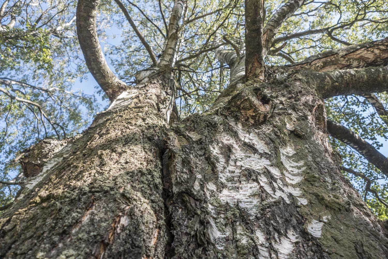Pihapiiriä komistaa valtava koivu. Kaksihaarainen on vasta satavuotias, mutta silti sen ympärysmitta on noin kolme syliä. Tarinan mukaan hevonen napsaisi aikanaan pienestä taimesta pätkän pois, jolloin puu alkoi kasvamaan kaksihaaraiseksi.