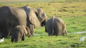 amboseli-elephants-in-swamp-copyright-maya-mangat-oct-2016-800x450