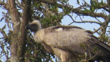 White-backed vulture in Nairobi National Park